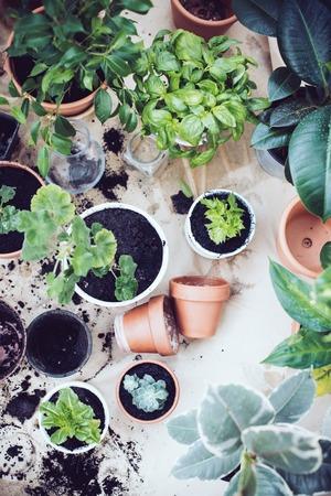 냄비에 자연 식물, 발코니에 녹색 정원. 도시 원예, 가정 재배.