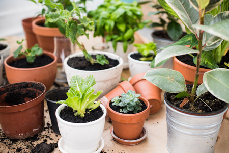 botanical garden: Natural plants in pots, green garden on a balcony. Urban gardening, home planting.