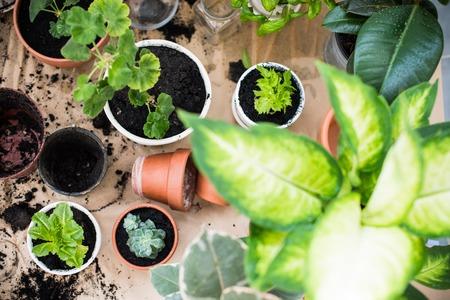 urban gardening: Natural plants in pots, green garden on a balcony. Urban gardening, home planting.