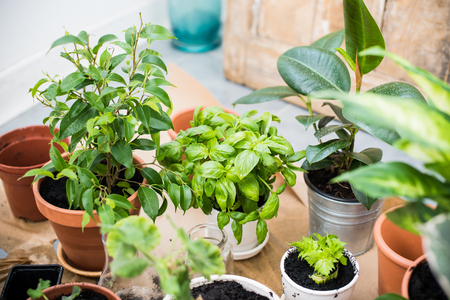 Potted plants: Natural plants in pots, green garden on a balcony. Urban gardening, home planting. Basil and celery regrow.