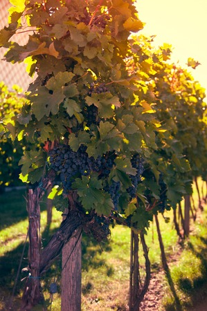 grape vines: Ripe grapes in a vineyard on a sunny summer weather, a good harvest Stock Photo