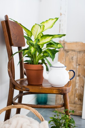 Vintage enamel tea pot and green home plants on an old wooden chair, cozy decor for summer balcony interior.
