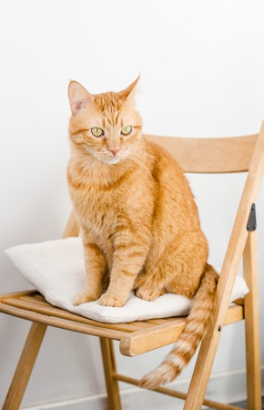 Big fat ginger cat sitting on a chair.