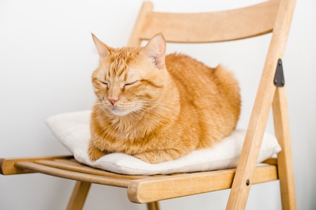 asleep chair: Big fat ginger cat laying on a chair sleeping.