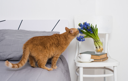 Clean white bedroom interior closeup, cup of tea and ginger cat smelling the hyacinth flowers on a chair. Home interior decor.