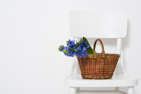 country house style: Spring flowers and wrapped gift, blue hyacinth in a basket on a vintage chair in white room interior.