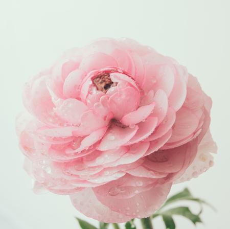 buttercup flower: Soft pastel pink buttercup flower macro shot, tender spring flowers closeup Stock Photo
