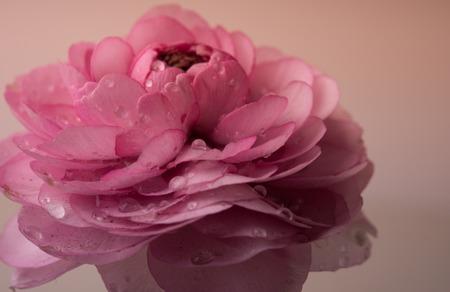 buttercup flower: Soft pastel pink buttercup flower macro shot, tender spring flowers closeup, vintage filtered