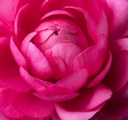 buttercup flower: Bright vivid pink buttercup flower macro shot, tender spring flowers closeup Stock Photo