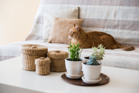 Big lazy ginger cat laying on a sofa in a living room, cozy home interior