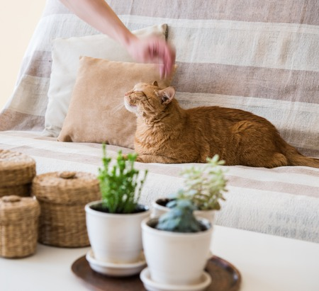 petting: Mans hand petting a big lazy ginger cat laying on a sofa in a living room, cozy home interior