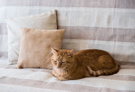 lazy: Big lazy ginger cat laying on a sofa in a living room, cozy home interior