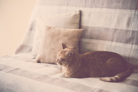 house cat: Big lazy ginger cat laying on a sofa in a living room, cozy home interior
