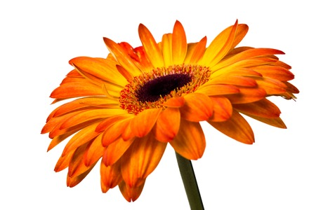 yellow gerbera isolated on: Beautiful fresh yellow and orange gerbera flower isolated on white background, studio closeup shot