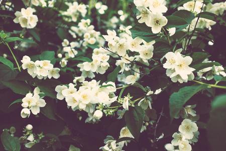 jasmine bush: Blooming jasmine bush with white flowers in summer