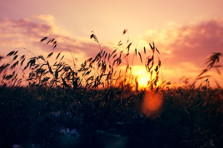 spikelets: Silhouettes of grass and spikelets in a field at sunset in summer Stock Photo