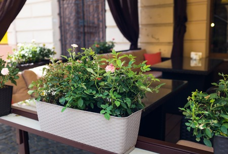 chernivtsi: Rose bushes on a summer area of the city cafe on the street, closeup