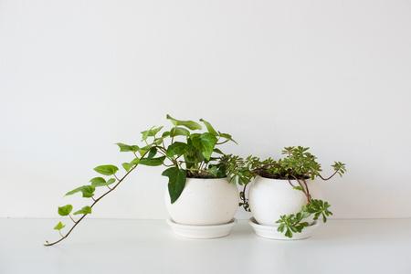 Piante domestiche verdi in vasi ceramici su fondo bianco in luce del giorno