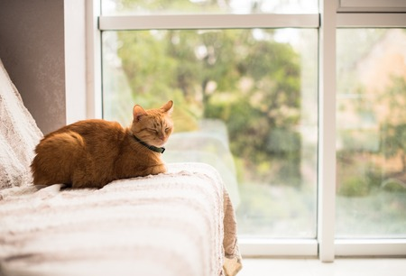 pet cat: Lovely ginger cat on a sofa by the window, cozy home interior with pet