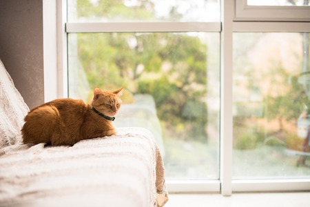 house cat: Lovely ginger cat on a sofa by the window, cozy home interior with pet