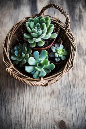 Groene huisplanten potten, vetplanten in een mand