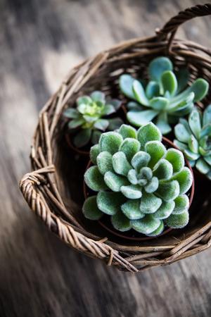 緑の家の植物の鉢植え、バスケットの多肉植物