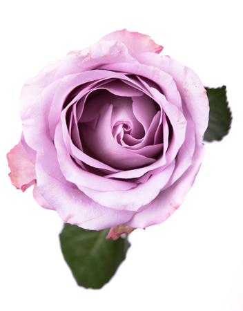 Pastel purple, mauve color fresh rose isolated on white backgrou Reklamní fotografie