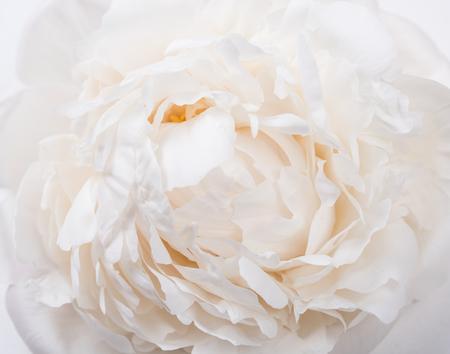 흰 모란 꽃잎 근접 촬영, 여름 꽃 매크로 촬영. 자연