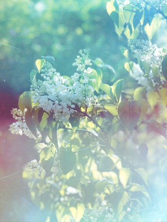 White lilac branches with flowers in spring garden, vintage film Imagens