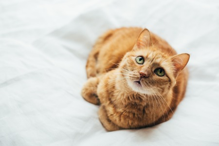 Big ginger cat laying on white linen looking at camera Stock fotó