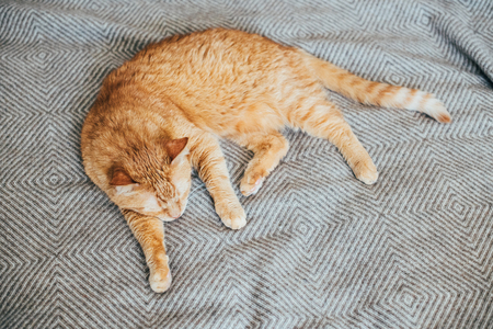 Big ginger cat laying on bed blanket sleeping Stock Photo
