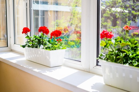 Red geranium flowers on windowsill at home balcony window 版權商用圖片