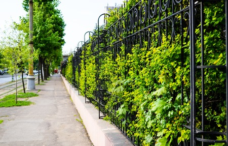 Beautiful green hedge, fence with plants in the springtime