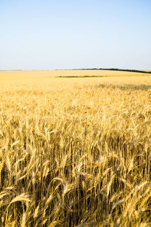 Ripe wheat field, yellow wheat ears close up