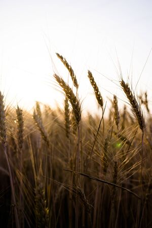 Ripe wheat field, wheat ears on the evening sky close up