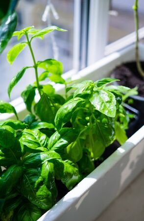 Green basil leaves in plastic plant box on windowsill, home herbal garden Stockfoto