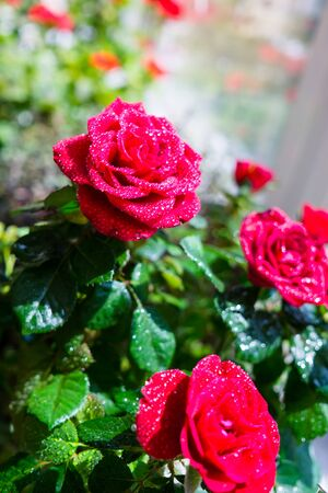 Little red roses with water drops close-up