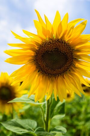 Yellow summertime sun flowers and petals closeup Banque d'images - 129565316