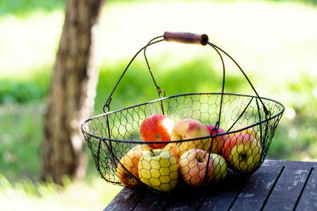 Just harvested autumn apples in the metal basket on wooden table in the garden Stock fotó