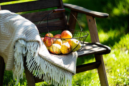 Just harvested autumn apples in the metal basket and cozy warm plaid on wooden chair in the garden