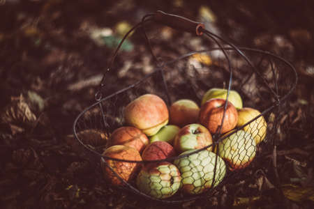 Fresh organic autumn apples in the metal basket and cozy warm plaid on the ground in the garden