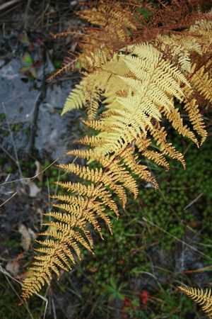 Ferns in Autumn Colors photo