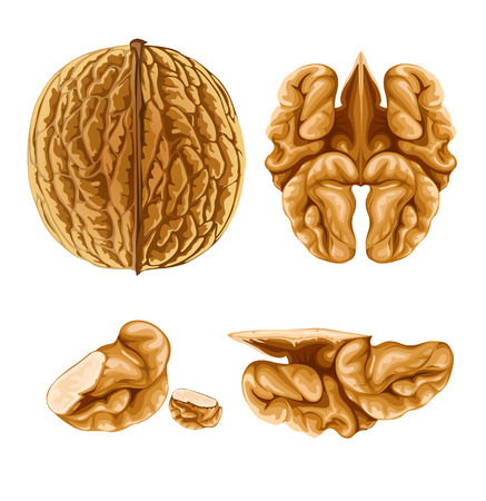 nut shell: walnut nut with shell  illustration, isolated on white background Illustration
