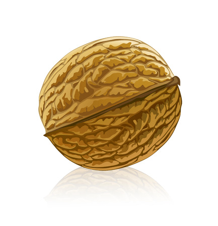 vector illustration of walnut fruit isolated on white background
