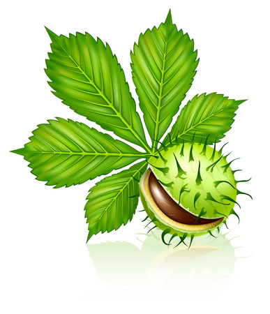 chestnut seed fruit with green leaf isolated on white