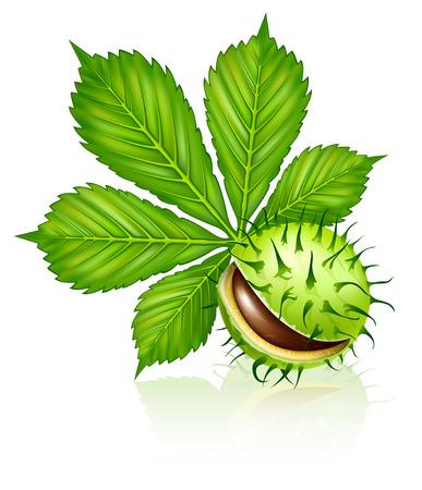 fruta de semillas de castaño con hoja verde aislado en blanco  Ilustración de vector