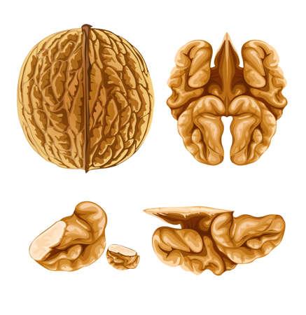 walnut nut with shell illustration, isolated on white background