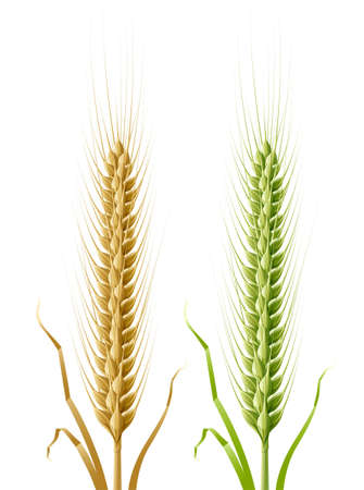 corn stalk: yellow and green ears of wheat illustration, isolated on white background