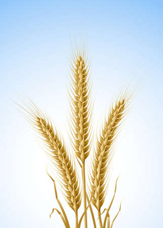 stalk: yellow ears of wheat  illustration, isolated on white background