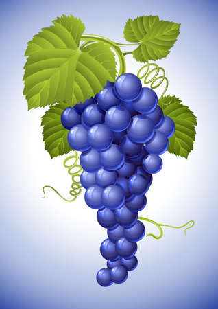 cluster of blue grape with green leaves illustration Vector